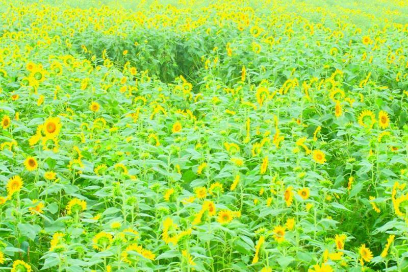 山口 ひまわり 畑